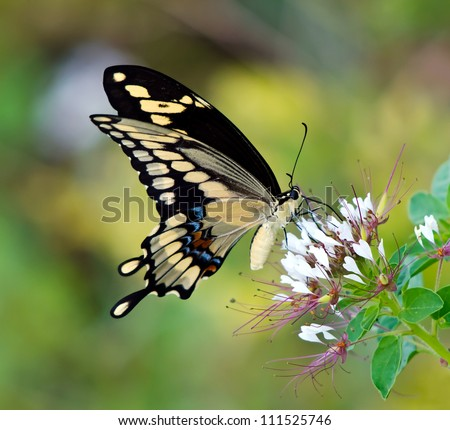 Giant Swallowtail butterfly (Papilio cresphontes) feeding on white wildflowers. Natural green background.