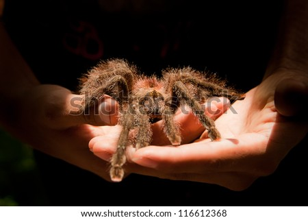 Giant Tarantula spider walking on a couple of hands