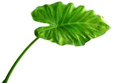 Giant Taro plant leaf also known as:Alocasia machrorhiza,Dieffenbachia (Dumb Cane), Elephant Ear, Cunjevoi isolated on white background