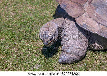 Giant Tortoise Eating Grass. Close Up. #590071205