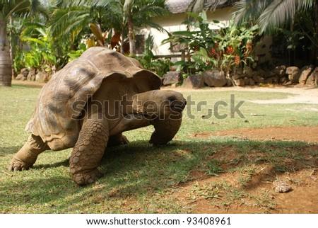 Giant tortoise - Mauritius