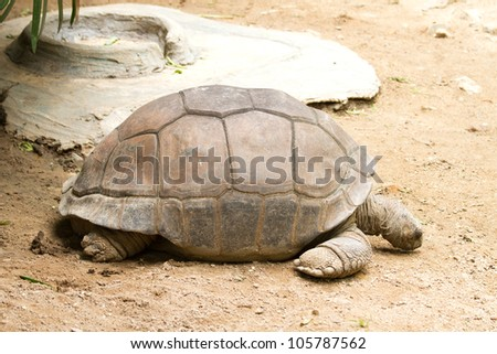 Giant tortoises - stock photo