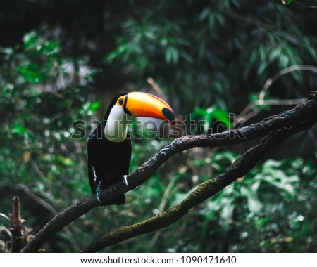 Giant Toucan closeup sitting on a branch