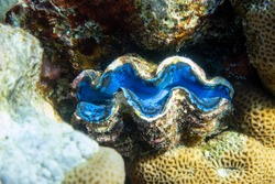 Giant Tridacna, Saltwater Clams In The Coral Reef, Red Sea. Marine Bivalve Blue Mollusks, Large Shells. Amazing Underwater Dangerous Animal.