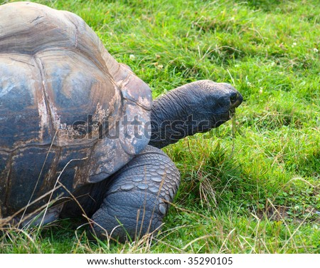 Giant turtle in the green grass
