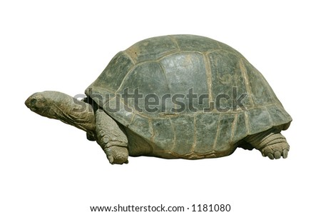 Giant turtle isolated on white with clipping path