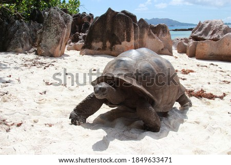 giant turtle on the beach of the island Curieuse, Seychelles Stock photo ©