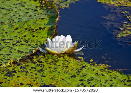 Giant water lilies, Victoria amazonica at Rio Badajos, Amazon River, Brazil