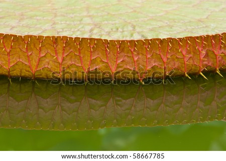 Giant Water lily (lotus) leaf reflection close up