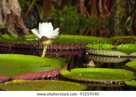 Giant water lily (Vicoria amazonica) at first night flowering. The second night it turns pink.