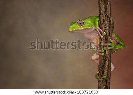Giant Waxy Monkey Tree Frog (Phyllomedusa bicolor) looking around