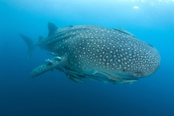 Giant Whale Shark swimming through blue water. Underwater Image taken scuba diving in Indonesia