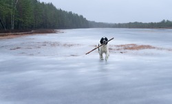 Giant white and black Landseer on slippery ice. Happy dog carries huge wooden log between her jaws. December day in marshland. Konnu-Suursoo and Korvemaa nature reserve in Estonia.