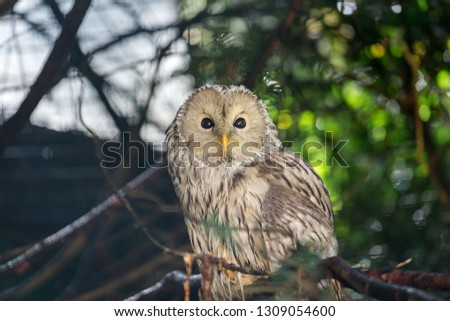 Giant white-grey owl standing in natural environment bokeh background. Animal and wildlife eye contact photo.