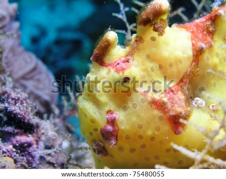 Giant yellow Frogfish Antennarius commersoni