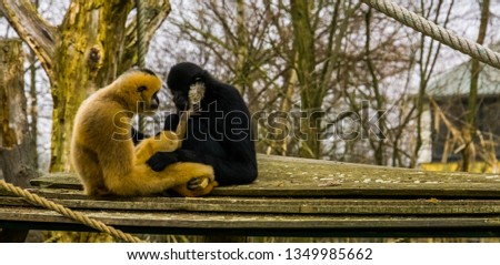 Gibbon father and mother with their new born infant, baby putting hand on father, monkey family portrait