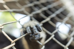 gibbon in cage