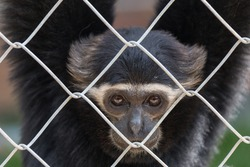 Gibbon in zoo cage,Beauty and loveliness of Gibbons