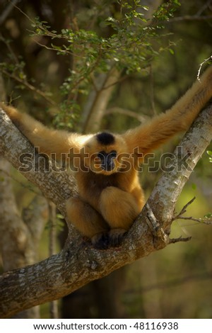 Gibbons are apes in the family Hylobatidae