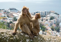Gibraltar Apes -  Barbary Macaque family in  Gibraltar Nature Reserve