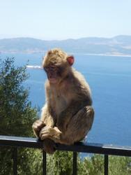 gibraltar apes - portrait, blue sky in the back