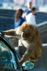 Gibraltar macaque climbed on top of a car