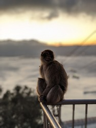 Gibraltar Monkey at the Cable Car station.