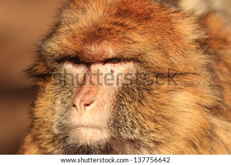 gibraltar monkey primate mammal morocco north africa