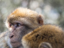 gibraltar monkey with another monkey who a little of the head is seen in the image. Barbary macaques in Gibraltar, Known locally as Barbary ape or rock ape, despite being a monkey (Macaca sylvanus)