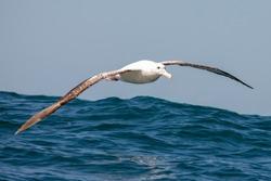 Gibson's Wandering Albatross in New Zealand