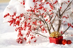 Gift Box and Christmas Balls under Holly Berries bush Covered with Snow. Outside. Winter Sunny Day.