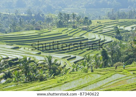 Gigantic and marvelous rice terraces - bali - indonesia