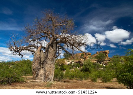 Gigantic baobab tree in South Africa's Mapungubwe National Park with a rocky background and clear blue skies.