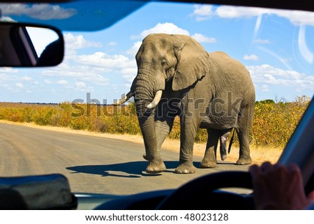 Gigantic male african elephant crossing the road in front of a safari car in Kruger National Park, South Africa