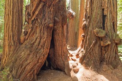 Gigantic redwood tree trunks in Muir Woods National Monument, California. USA