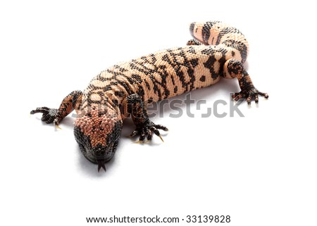 Gila monster (Heloderma suspectum) isolated on white background