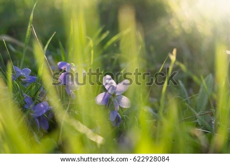 Gilliflower in the grass. Slovakia #622928084