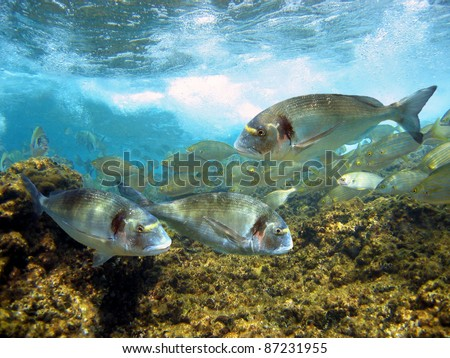 Gilt-head bream fish under surface in the marine reserve of Cerbere-Banyuls, Mediterranean sea, Cote Vermeille, Roussillon, France