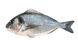 Gilt head bream or dorada fish isolated on white background