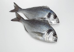Gilthead Bream, sparus auratus, Fresh Fishes against White Background