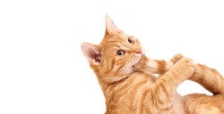 Ginger cat biting his tail. On white with empty space.