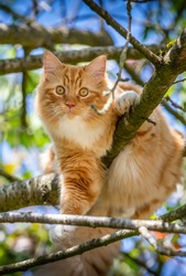 ginger cat in cherry tree in spring looking at the camera