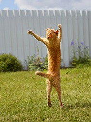 Ginger cat in jumping on green grass or dancing cat. The cat is engaged in fitness.
