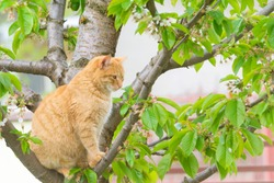 ginger cat in the cherry tree in spring season