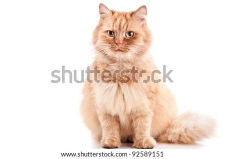 ginger cat isolated on a white background