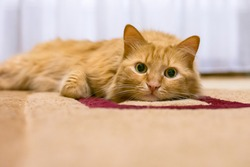 ginger cat lay down to rest on the carpet but does not sleep