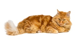 Ginger cat laying and looking, isolated on white background
