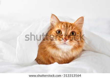 Ginger cat lies on bed. The fluffy pet comfortably hid under a blanket to sleep or to play. Cute cozy background, morning warm bedtime at home.
