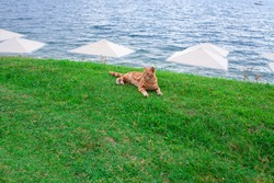 Ginger cat lies on the grass on see coast with white beach umbrellas against blue water. Homeles red cat outdoors.