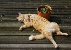 Ginger Cat Lying on Back on Terrace next to Plant Pot